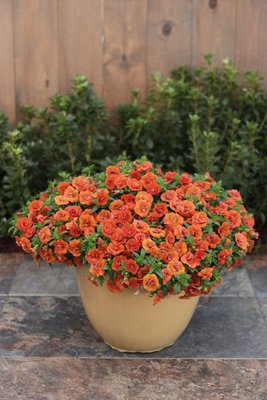 Millionbells - Calibrachoa Double Orange